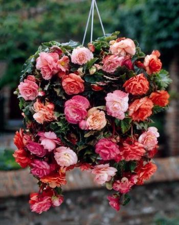 Begonia-Splendide